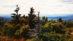 Maine Trees 2